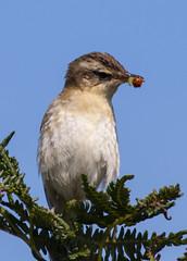 Sedge Warbler ( Acrocephalus schoenobaenus ) (DaveGray) Tags: acrocephalusschoenobaenus sedgewarbler birds canoneos70d pembrokeshirecoastnationalpark skomerisland thewildlifetrustofsouthwestwales