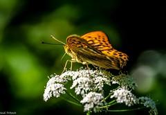Ein Kaisermantel (Andi Fritzsch) Tags: kaisermantel schmetterlinge butterfly natur nature naturephotography insekt insect insectphotography butterflyphotography makro macro macrophotography closeup closeupphotography nikon nikond5100 sigma sigma105mm