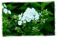 Hortensie oder Phlox ? (kopaul_belgium) Tags: blume hortensie blumenwiese