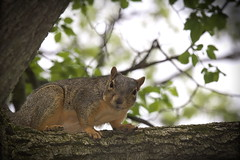 Squirrel, Cantigny Park. 76 (EOS) (Mega-Magpie) Tags: canon eos 60d nature outdoors tree branch squirrel cantigny park wheaton dupage il illinois usa america wildlife