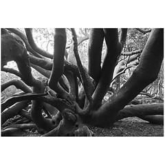 Tentacles (Robyn Hooz) Tags: kirstenbosch capetown sudafrica southafrica botanic almond tree albero monochrome