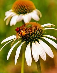 Echinacea mit Besucher (sabine1955) Tags: blume flower wespe biene visiter naturoutdoor blüte blossem
