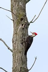 Male Pileated Woodpecker 02 (judymtomlinson) Tags: bird birdphotographer birdphotography birdwatching nikond7500 ontariobirds londonontariocanada saunderspond wildlife wildlifephotographer wildlifephotography birdsofontario nikonphotography pileatedwoodpecker male