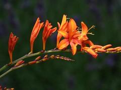 Mombretienzweig (dorisgoebel) Tags: mombretie zweig branch blume flower blüte blossom natur