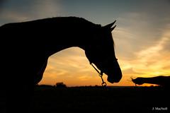 63 (Jen MacNeill) Tags: arabian horse horses equine equestrian animal sunset