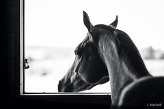 1 (Jen MacNeill) Tags: arabian horse horses equine equestrian animal stable stall farm bnw bw