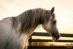 57 (Jen MacNeill) Tags: arabian horse horses equine equestrian animal