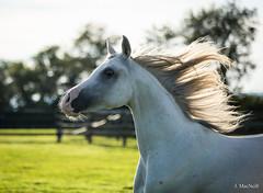 36 (Jen MacNeill) Tags: arabian horse horses equine equestrian animal