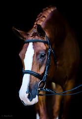2 (Jen MacNeill) Tags: arabian horse horses equine equestrian animal