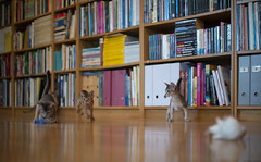 Changing Target (peter_hasselbom) Tags: cat cats kitten kittens abyssinian 10weeksold blue ruddy usual play hunt chase library books bookshelf hardwoodfloor oakfloor 4cats 4kittens ikea billy