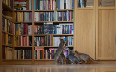 Suspence (peter_hasselbom) Tags: cat cats kitten kittens abyssinian 10weeksold blue ruddy usual play hunt chase exploring library books bookshelf hardwoodfloor oakfloor 4cats 4kittens ikea billy