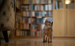 Book Bokhé (peter_hasselbom) Tags: cat cats kitten kittens abyssinian 10weeksold ruddy usual play hunt chase library books bookshelf hardwoodfloor oakfloor ikea billy