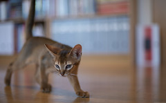 Focused (peter_hasselbom) Tags: cat cats kitten kittens abyssinian 10weeksold ruddy usual play hunt chase library books bookshelf hardwoodfloor oakfloor ikea billy