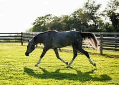 20 (Jen MacNeill) Tags: arabian horse horses equine equestrian animal