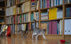 Leaving the Others Behind (peter_hasselbom) Tags: cat cats kitten kittens abyssinian 10weeksold blue ruddy usual play hunt chase library books bookshelf hardwoodfloor oakfloor 4cats 4kittens ikea billy