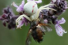 unhappy (Phil Arachno) Tags: germany spider spinne arthropoda chelicerata arachnida thomisidae eppstein hessen