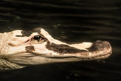 Albino Alligator 3-0 F LR 8-2-19 J097 (sunspotimages) Tags: animal animals wildlife nature alligator alligators albino albinoalligator albingalligators zoo zoos aquarium aquariums