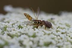 Thomisidae with prey, single shot (Phil Arachno) Tags: germany thomisidae spider spinne arachnida chelicerata arthropoda hessen niederems