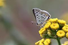 Lycaenidae field-stack (Phil Arachno) Tags: germany heliconfocus fieldstack butterfly lepidoptera lycaenidae arthropoda insecta niederems hessen