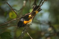 American Redstart (Boered) Tags: bird americanredstart vermont