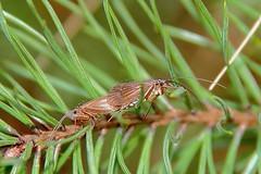 Chaetopteryx villosa (Imbi Vahuri) Tags: imbivahuri putukad insecta trichoptera ehmestiivalised limnephilidae järvevanalased chaetopteryx estonia