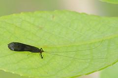 Pulkvana (Mystacides azurea). (Imbi Vahuri) Tags: imbivahuri putukad insecta trichoptera ehmestiivalised leptoceridae toruvanalased mystacides pulkvana estonia