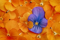 Orange and Blue (JossieK) Tags: colours colors violets orange blue orangeandblue complementary complementarycolours macromondays colorful filledframe macro flowers hornveilchen viooltjes