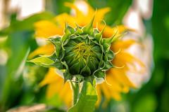 Sonnenblume (Nic2209) Tags: nikond750 nic2209 flickr2019 flickr 2019 allemange alemania europa deutschland germany ruhrgebiet ruhrpott westfalen ninis dawowirunssowohlfühlen sonnenblume feld licht farben light colors sigma105mmf28 makro