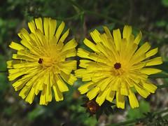 Epervière à feuilles de statice (Jean-Marc Linder) Tags: fleur flower fiore jaune macro nature epervière coth alittlebeauty coth5