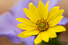 Opposites attract (Dan Elms Photography) Tags: complementarycolours colours opposites flowers macromondays yellow purple flora macro danelms danelmsphotography wwwdanelmsphotouk