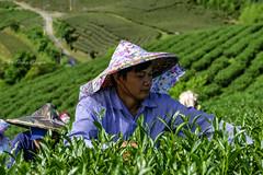 又是一記茶香_DSC8898N (何鳳娟) Tags: 茶園 採茶工 山岳 夏季茶 風景 夜景 南投縣 武界