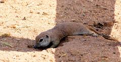Round-tailed Ground Squirrel (Spermophilus tereticaudus); Oro Valley, AZ, [Lou Feltz] (deserttoad) Tags: nature rodent mammal squirrel groundsquirrel ranch burrow arizona behavior