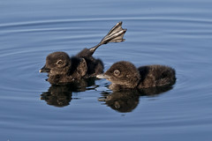 Waiting for food (NaPix -- (Time out)) Tags: do baby loons food parents lake reflection stretching wildlife canada cute