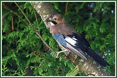 Geai 190801-03-P (paul.vetter) Tags: oiseau ornithologie ornithology faune animal bird geaideschênes garrulusglandarius eurasianjay arrendajoeuroasiático gaio eichelhäher corvidé