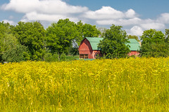 Barn in a Field of Yellow (AChucksEyeView) Tags: barn red nature old rustic wood green sky clouds