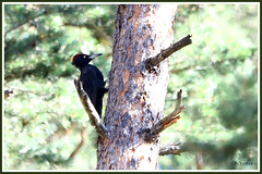 Pic noir 190801-00-P (paul.vetter) Tags: oiseau ornithologie ornithology faune animal bird picnoir dryocopusmartius blackwoodpecker picamaderosnegro schwarzspecht picidés