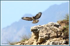 Buse pose 190803-01-P (paul.vetter) Tags: oiseau ornithologie ornithology faune animal bird rapace busevariable buteobuteo commonbuzzard maüsebussard