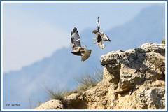 Buses combat 190805-01-P (paul.vetter) Tags: oiseau ornithologie ornithology faune animal bird rapace busevariable buteobuteo commonbuzzard maüsebussard