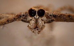 Ogre faced spider (Arvind_S) Tags: closeup bugs cannon insect macro world eyes spider wild nature ngc