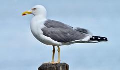 Lesser Black Backed Gull (earlyalan90 away awhile) Tags: lesserblackbackedgull gull seabird lake water feathers plumage avian ornithology birding lakewindermere bownessonwindermere lakedistrict nationalpark cumbria nikond800 nikonzoomlens bird shorebird