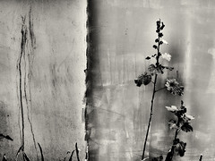 dark flowers abstract (Pomo photos) Tags: stilllife flower flowers abstract wall paint old decay abandoned noir sepia grain fujifilm xa5 fujifilmxa5 metal rust macro plant surreal surrealism abstraction blackandwhite blackwhite bw monochrome mono mood moody city cityscape urban lost wave leaf leaves