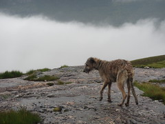 Karhu (andywalker1) Tags: andrewwalker scotland karhu irishwolfhound wolfhound paddywhack