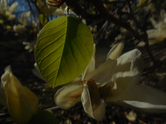 DSCN1754 (tombrewster6154) Tags: early spring 2019 mmxix april greensboro northcarolina green leaf pretty white flower petals bicentenial garden ditigal camera picture photograph wood branches brown blue sky photography portrait lovely beautiful amazing breathtaking