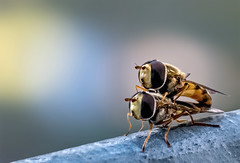 hoverfly artistry (Edi Gollasch) Tags: hoverflies macro fly wildlife gemeinefeldschwebfliege animals insect insects garden yellow macrophotography supermacro nature naturephotography naturepics outside