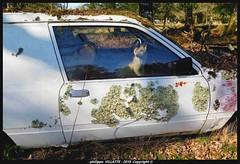 renard dans la voiture  jpg (villatte.philippe) Tags: renard voiture auto empaillé regard nature épave couleur animal