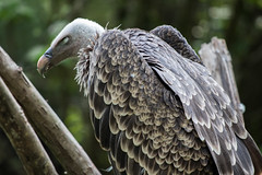 Rüppell's vulture (nato.irfan) Tags: vulture canon 77d 70300mm nature animal bokeh bird green moody look glance majestic frightening