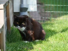 Ahh...that bug looks yummy (vanstaffs) Tags: tussi tuzz tuxedocat t tux tusse tutu tuzz® myprettytuxedogirl