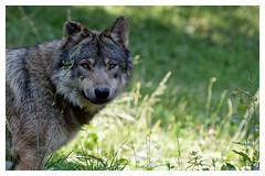 Loup gris (Canis lupus lupus) (Pierre Crétu) Tags: loupgris canislupuslupus europedel'ouest chine carnassier parcanimalier argelesgazost pyrénées hautespyrénées france