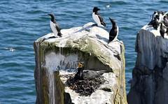 """Top of the Rocks"" - Cormorant, Razorbills and a nesting Shag on The Farne Islands. (One more shot Rog) Tags: frne islands thorthuberland coast bird birds winks beak beaks farheislands thefarneislands onemoreshotrog rogersargentwildlifephotography flight puffin puffins puffinisland stapleisland innerfarneisland innerfarne"