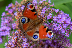 DSC1168  Peacock... (Jeff Lack Wildlife&Nature) Tags: peacockbutterfly peacock butterflies butterfly lepidoptera insects insect nature naturephotography nectaring wildlife wetlands woodlands woodland wildlifephotography jefflackphotography wildflowers flowers shrubs glades grasslands heathland hedgerows heathlands heaths parks parklands floral nikon moorland marshes meadows moors marshland macro verges
